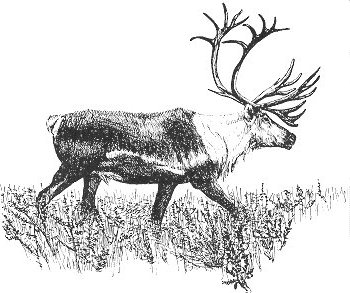 Barrenland Caribou